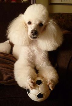 This little poodle looks like my VANILLA ROSE's twin.