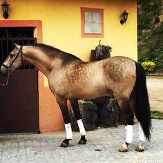 """Firme AP III (Aviador V y yegua Firme) #Buckskin #Andalusian #stallion Semental bayo rodado de #purarazaespañola de la ganadería de Peralta. Otro caballo de la factoría de los """"Aviadores"""" ¿Qué os parece..? #horselover #equine #equinephotography"""