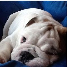 English Bulldog puppy ~ chunk munk