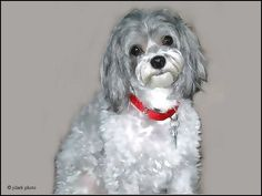 Painting of our Malti-Poo, Belle ... JhC #Dog #Pet