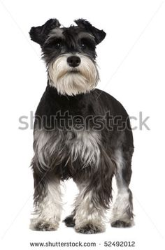 Miniature Schnauzer, 10 months old, standing in front of white background - stock photo