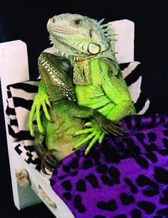 Iguana cuddle with you! ;)  Photogenic Iguanas - Imgur
