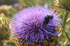 Flower artichoke by Andres Falk C on 500px