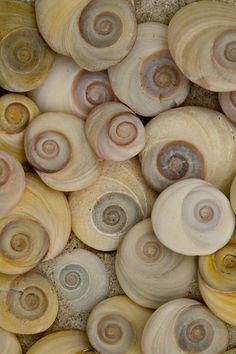 isis0isis:Jennifer McCallum-New Zealand spiral shells vertical