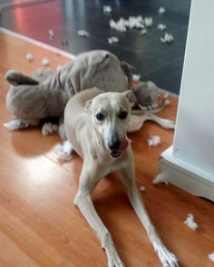 """That elephant tasted great!"" My Whippet Pup Goldie 9 months #greyhounds #whippets"