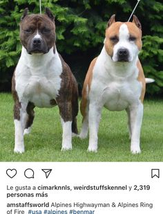 English Staffordshire Terrier, American Staffordshire, Amstaff Terrier, Pitbull Terrier, Big Dogs, Cute Dogs, Dogs And Puppies, Beautiful Dogs, Animals Beautiful