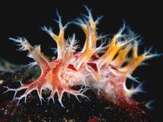 A sea slug from the genus Tritonia, so beatiful but so small Underwater Creatures, Underwater Life, Ocean Creatures, Beautiful Sea Creatures, Sea Snail, Sea Slug, Deep Blue Sea, Sea And Ocean, Ocean Life