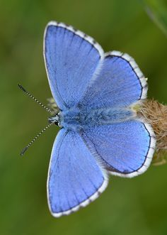 Adonis Blue Butterfly   I can't tell you which is a butterfly vs. a moth but I recognize beauty.
