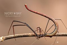 The Twig Spider (Ariamnes sp.)