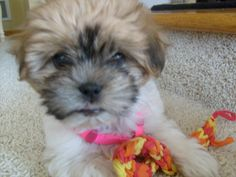 Puppies That Look Like Bears Images & Pictures - Findpik Teddy Bear Dog, Teddy Bears, Bear Images, Shih Tzu Puppy, Bichon Frise, Puppies, Minnesota, Dogs, Animals