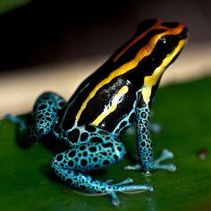 Poison Dart Frog Sitting on a Leaf by MoleSon², via Flickr