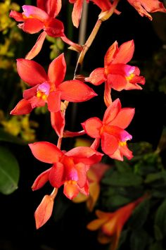 Cochlioda species from Peru - Flickr - Photo Sharing!