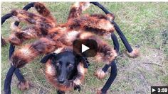 Pet Halloween Costume Idea: Giant Spider Dog Costume - iSaveA2Z.com