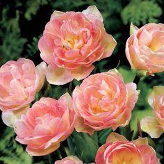 Image of Angelique Tulip Tulips Garden, Garden Bulbs, Planting Bulbs, Planting Flowers, Bulb Flowers, Tulips Flowers, Flower Pots, Flower Bouquets, Art Flowers