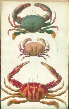 b9afbea1f2 crabs Crab Art, Crab And Lobster, Crab Illustration, Ocean Life, Sea Life