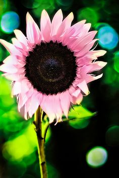 Pink Sunflowers {Are these real! Could I switch out yellow sunflower seeds to surprise the kids? My Flower, Pretty In Pink, Beautiful Flowers, Sun Flowers, Draw Flowers, Bouquet Flowers, Flowers Nature, Exotic Flowers, Simply Beautiful