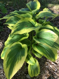 Hosta Montana Aureo Marginata Hosta Plants, Plant Leaves, Plants, Leaves