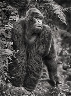 Gorilla On Rock, Parc Des Volcans, 2008.