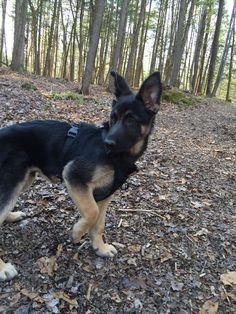 Things that make you go AWW! Like puppies, bunnies, babies, and so on. A place for really cute pictures and videos! German Shepherd Photos, German Shepherd Puppies, Shepherd Dog, German Shepherds, Gsd Puppies, Picture Video, Cute Pictures, Dog Cat, Corgi