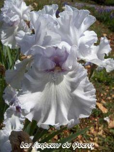 Iris 'Silverado'. Grand iris de jardin. Fleur parfaite et moderne bleu des glaciers. Floraison : mi-saison.   Hauteur :  0.95 m. Dykes Medals 1994 Obtenteur : Schreiner 1987.