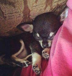La belle Zoé (anciennement Eowyn fille de Gypsy et Sammy) dort sur sa maman  www.machupitouchihuahua.com