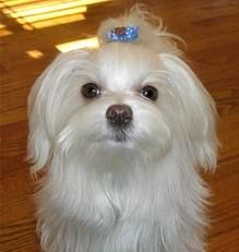 Magnificent Maltese~ And poses perfectly for a picture too!