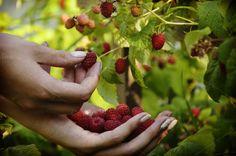 Raspberries in women's hands by velychko.ua on @creativemarket