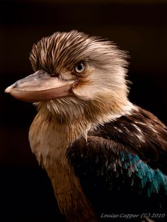 Blue-winged Kookaburra (Dacelo leachii) is a large species of kingfisher native to northern Australia and southern New Guinea. Kinds Of Birds, All Birds, Little Birds, Love Birds, Pretty Birds, Beautiful Birds, Animals Beautiful, Exotic Birds, Colorful Birds
