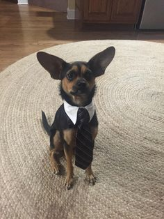 This proper gentleman who knows you can achieve dreams that are even bigger than his ears. | 22 Dog Pictures That Will Definitely Brighten Your Day