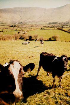 Cows in Glen of Aherlow