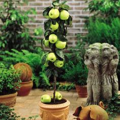 self-pollinating dwarf apple tree | of the best aspect of dwarfplant our fruit guarantee years