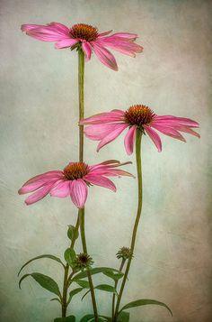 Pink Echinacea