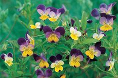 Johnny-Jump-Up  Viola tricolor • Zones 3 to 9  This old-fashioned classic produces a plethora of charming yellow, blue, violet and white flowers. Seeds planted the previous spring will bloom in fall and often hang on through winter. Johnny-jump-up thrives in containers, so if you live in a cooler climate, sow it in a planter and bring it inside when the temperatures plummet. You'll be able to enjoy the colorful display even while there's a blizzard raging outside.