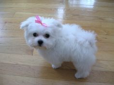 One Of My Future Dogs Will Be A Maltese Labradoodle Or Bichon Frise Maltese Maltese Puppy Teacup Puppies Maltese Maltese Dogs