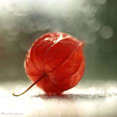 Physalis Alkekengi Chinese Lantern Seedpod by machelspencePHOTO Fine Art Photography, Nature Photography, Chinese Lanterns Plant, Visiting The Grand Canyon, Seed Pods, Pictures To Paint, Autumn Inspiration, Flower Art, Photo Art