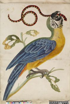 Absolutely beautiful antique watercolour of a blue and yellow parrot with a red and black snake in its mouth, perched on a branch.  (Curator's has attributed this to Dorothea Graff, the daughter of Maria Sibylla Merian. It appears to be a copy after a signed drawing on paper (as opposed to vellum) by Maria Sibylla Merian.)