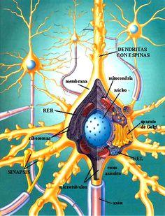 CITOPLASMA (Mitocondrias - energía / Neurofibrillas - citoesqueleto / Lisosomas - limpiadores / Sustancias de Nissl - proteínas) *Núcleo-cromosomas / Memb. Plasmática - inicio de impulso de doble capa lipídica y en reposo el interior es negativo