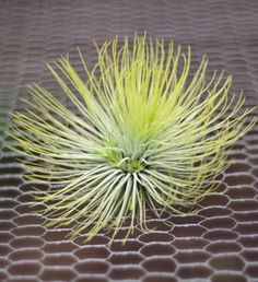 """Andreana, Large This air plant shows multi-colors of green on the same plant & is 4""""tall by 5"""" wide. Shipping is free & direct from the greenhouse. #tillandsia"""