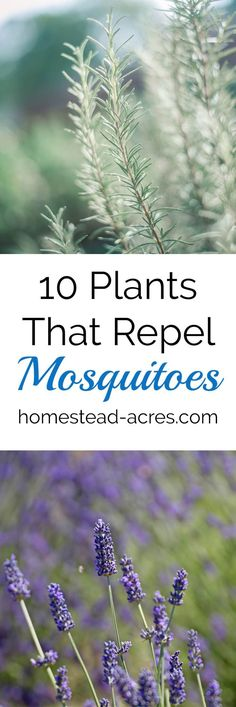 10 Plants That Repel Mosquitoes. Easy to grow flowers and herbs to help keep mosquitoes away. https://www.homestead-acres.com/10-plants-that-repel-mosquitoes/?utm_campaign=coschedule&utm_source=pinterest&utm_medium=Kim Mills | Homestead Acres | Homeschool