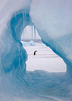 An emperor penguin is framed by a hole in an iceberg at Snow Hill Island rookery, off the east coast of the Antarctic peninsula by Sue Flood, one of the world's only women to specialise in polar photography. #animals #wildlife #birds #penguin #antarctica #emperor penguins #emperor penguin