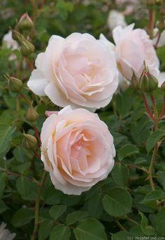 'Pretty Lady' Rose