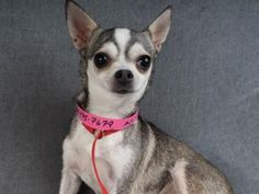 Adopt Daisy, a lovely 4 years  7 months Dog available for adoption at Petango.com.  Daisy is a Chihuahua, Short Coat and is available at the National Mill Dog Rescue in Colorado Springs, Co. www.milldogrescue... #adoptdontshop #puppymilldog #rescue #adoptyourfriendtoday