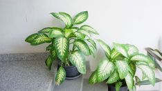Why Are My Dieffenbachia Leaves Turning Yellow? - Smart Garden Guide Dieffenbachia Care, Dumb Cane Plant, Large Indoor Plants, Lucky Bamboo Plants, Corn Plant, Paper Plants, Asparagus Fern, Pothos Plant, Low Light Plants