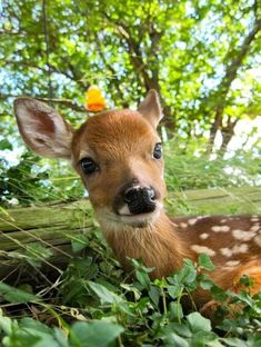 There is no cuter sight than a small, sweet deer lounging in a beautiful forest. This is why we loved Bambi as a child - deer are so beautiful and so sweet, it's impossible to fall in love with them! Cute Baby Animals, Animals And Pets, Beautiful Creatures, Animals Beautiful, Photo Animaliere, Deer Family, Kawaii, Baby Deer, Tier Fotos