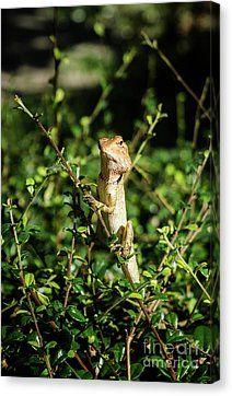 Oriental Garden Lizard Canvas Print by Michelle Meenawong