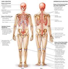 Image result for skeletal system medviz skeletal system pinterest the skeletal system biology of humans fandeluxe Choice Image