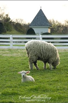 Colonial Williamsburg's lamb and sheep. #ColonialWilliamsburg #lamb #sheep #rare #animals