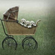 Golden Retriever Puppies <3
