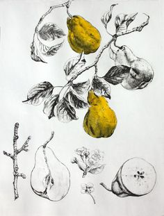 Class idea-- botanical illustration, nature drawing and observation Gravure Illustration, Illustration Art, Illustrations, Botanical Drawings, Botanical Prints, Drypoint Etching, Observational Drawing, Nature Drawing, Painting & Drawing