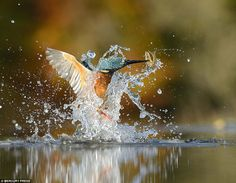Alan McFayden famous professional wildlife photographer took photos to capture this award winning photos of Kingfisher bird. he waited 6 years to capture this kingfisher bird photo. Wild Photography, Wildlife Photography, Amazing Photography, Perfect Image, Perfect Photo, Rare Photos, Cool Photos, Dream Pictures, Kingfisher Bird